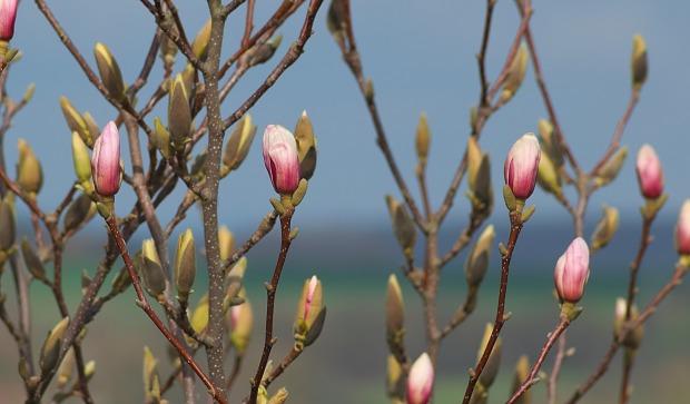 magnolia-4100692_1920